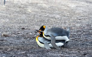 18KingPenguinsmating