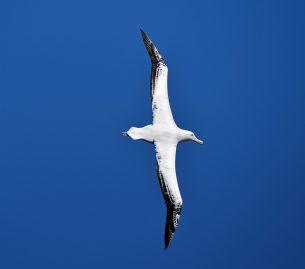 20Royal Albatross