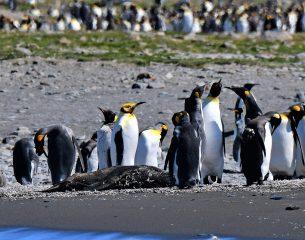 A rare yellow-headed king penguin