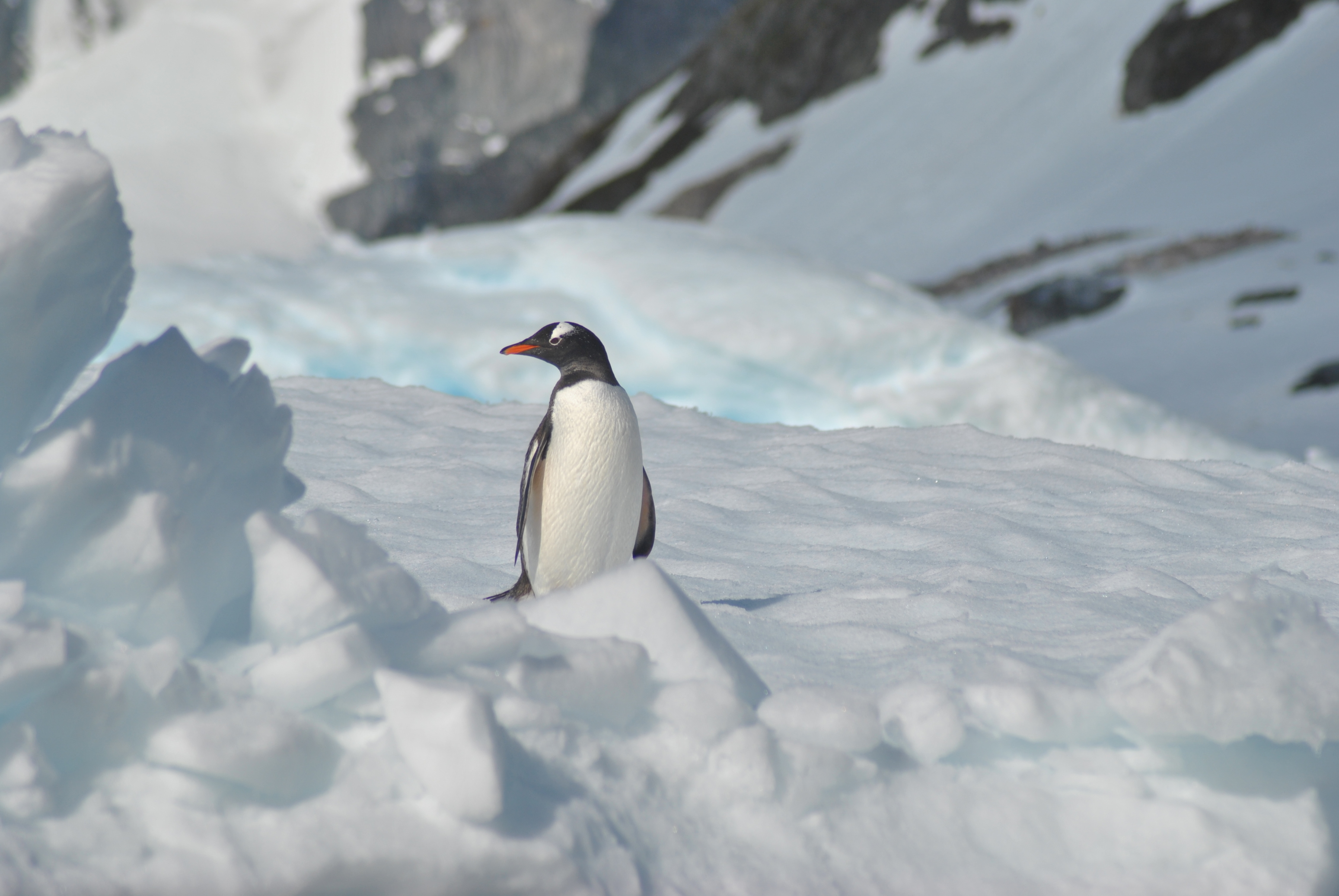 Future of Antarctica Penguin