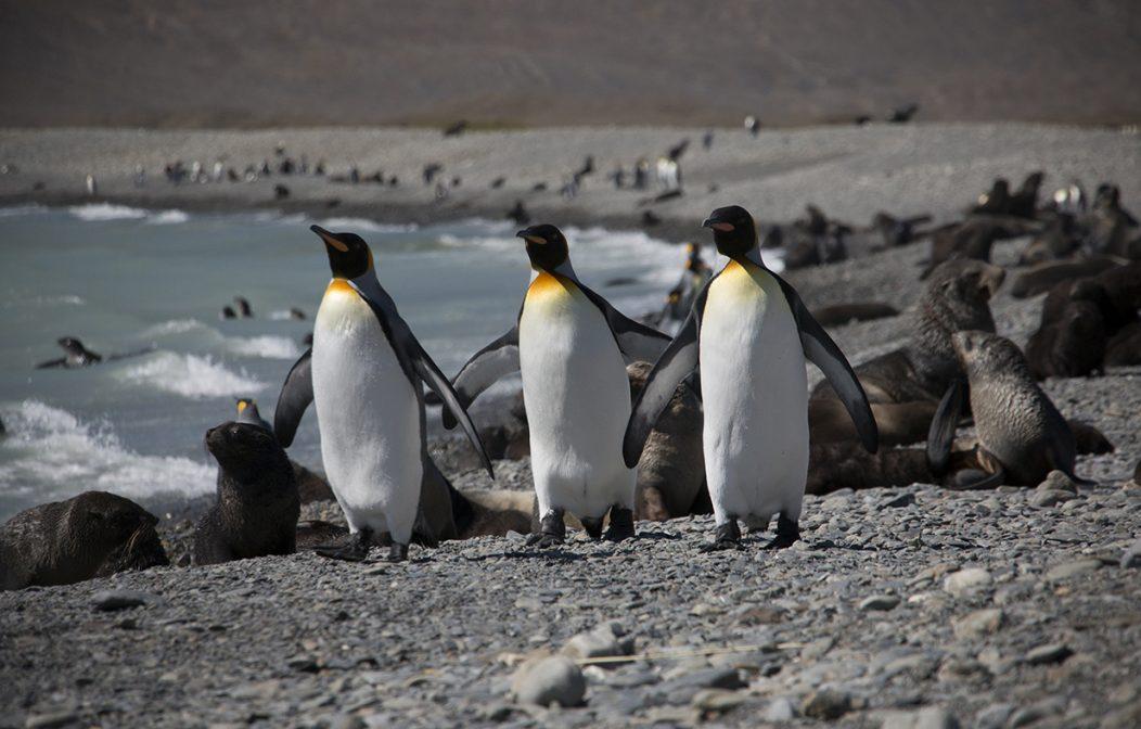 King Penguins South Georgia
