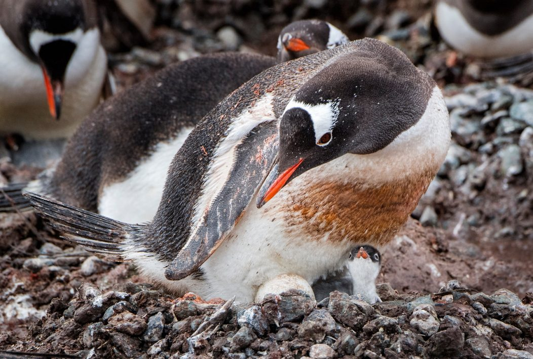 Penguins making nests in the mud due to a severe decline in ice and snow affects the hatching process