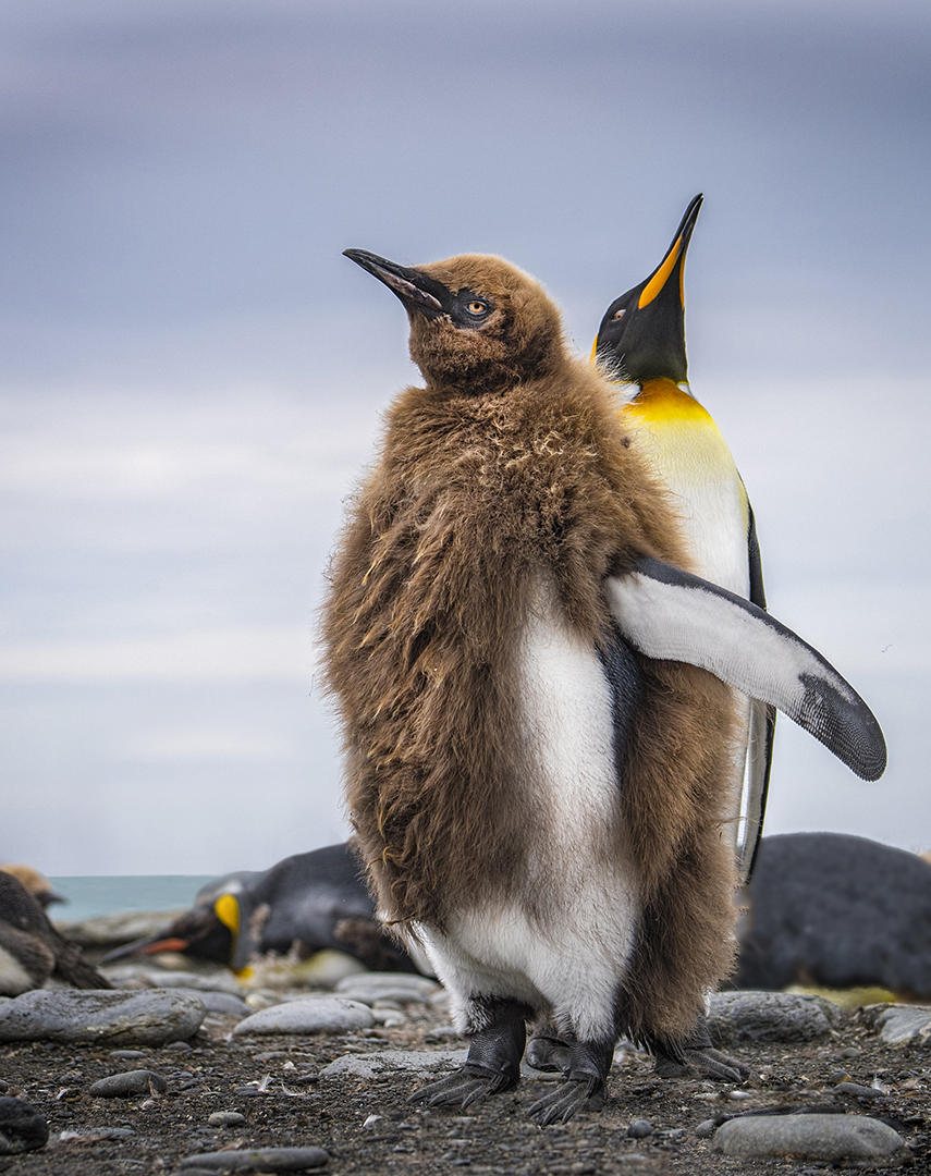 South Georgia is home to a declining population of King penguins
