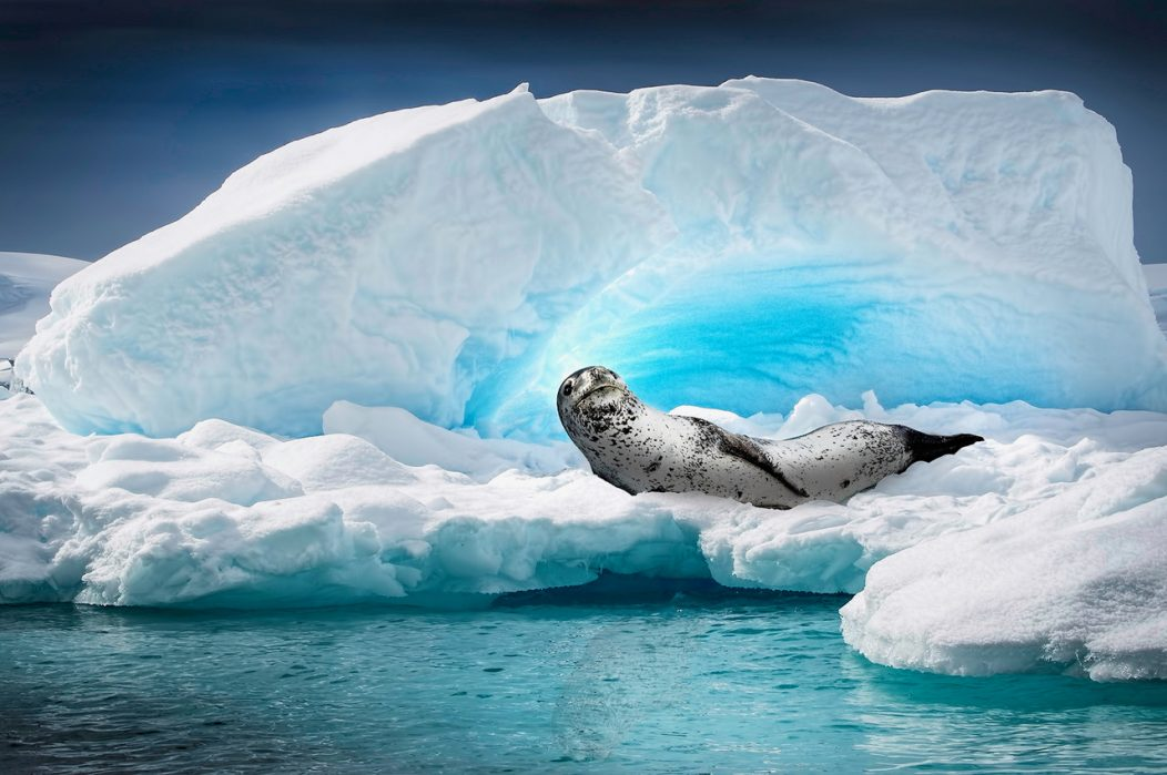 A leopard seal looks up from his resting place on a small iceberg in Cierva Cove