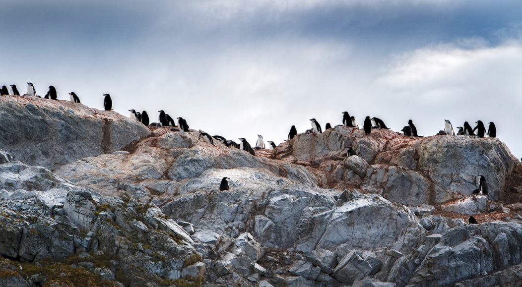 A colony of chinstrap penguins