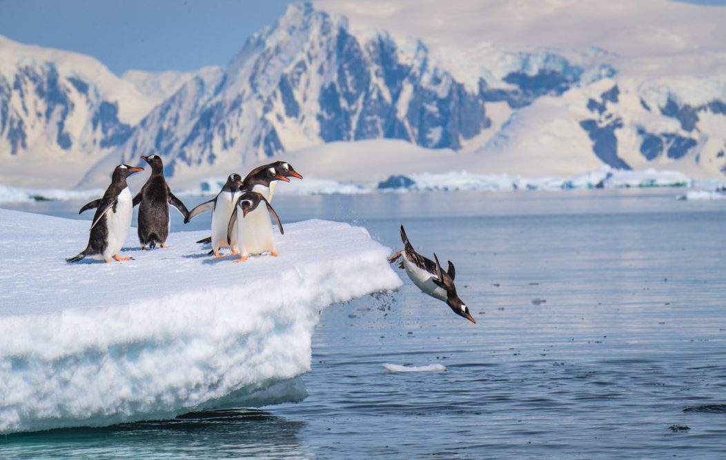 A gentoo penguin dives off an iceberg