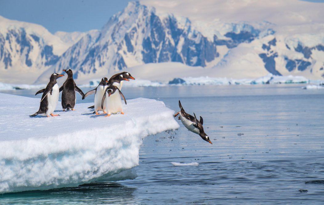 A gentoo penguin dives off an iceberg