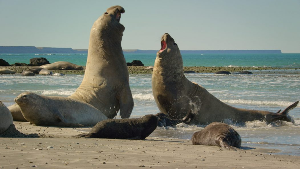 Fighting male seals