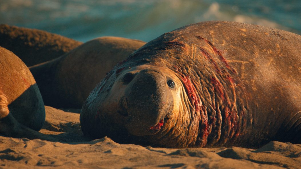 Male seal with wounds from fighting