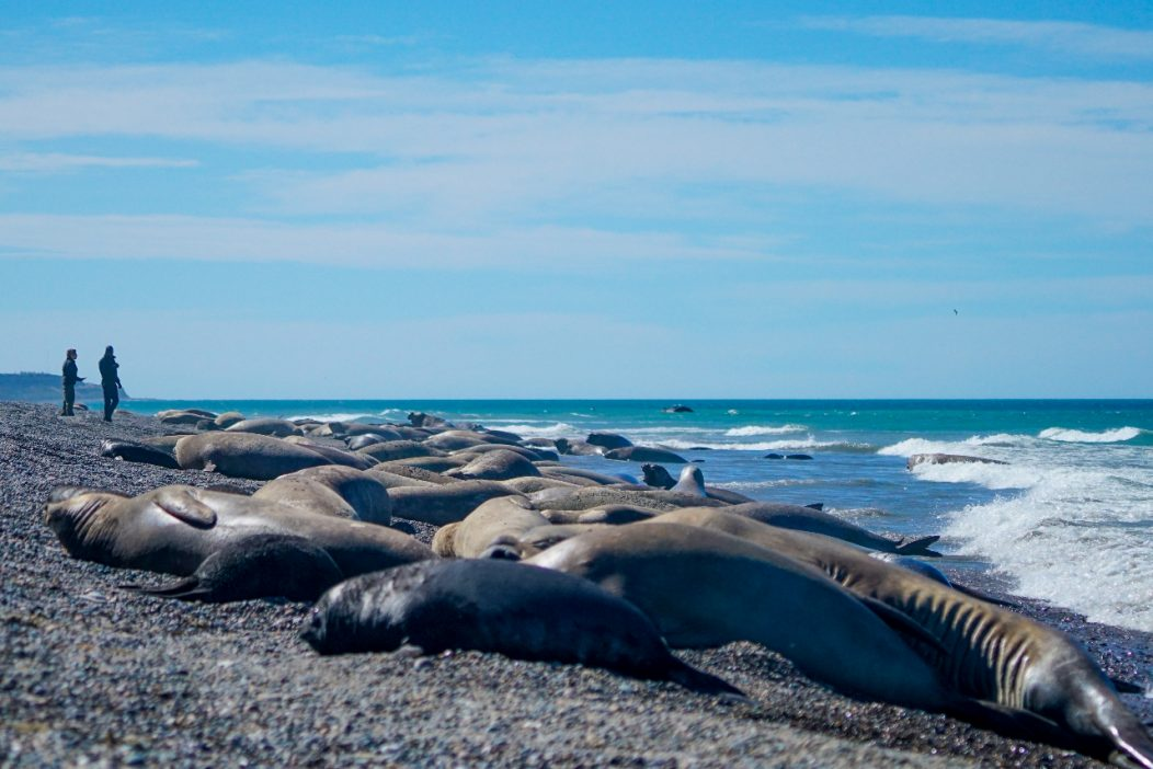 Southern elephant seal colony